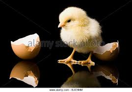 """New born chick"" Courtesy of Google ""free to use images"""