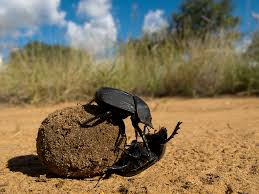 Media file Dung Beetle download